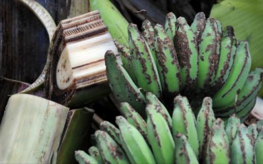 50 Variedades de Bananas correm Risco de Sumirem do Mapa